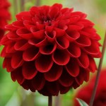 The different petals of the Dahlia plant of Mexico signify the different forms of HIV prevention methods that include Pre-Exposure Prophylaxis (PrEP) and Post-Exposure Prophylaxis (antiretroviral). by Philip Danquah