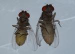 You Look Fly – Population Preference in Drosophila mojavensis by Katrina Pinili